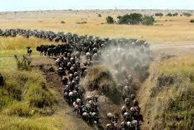 #MasaiMara, #WildebeestMigration, #NalepoMara